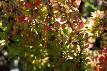 Image of Berberis thunbergii 'Golden Rocket' 19cm Pot Size