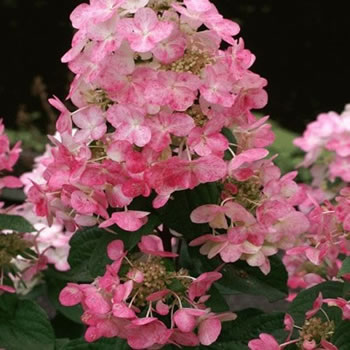 Image of Hydrangea paniculata 'Magical Fire' 19cm Pot Size