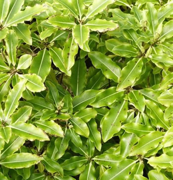 Image of Pittosporum 'Golden King' 19cm Pot Size