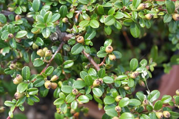Image of Cotoneaster x suecicus 'Coral Beauty' 15cm Pot Size