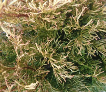Image of Thuja plicata 'Copper Kettle' 19cm Pot Size