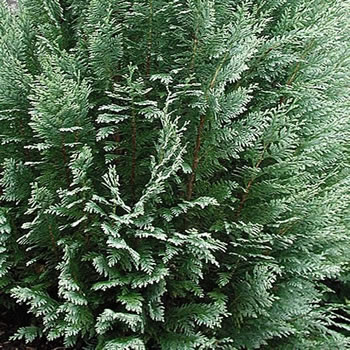 Image of Chamaecyparis lawsoniana 'White Spot' 13cm Pot Size