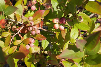 Image of Blueberry Vaccinium corymbosum Blueberry  'Patriot'  19cm Pot Size