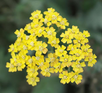 Image of Achillea 'Terracotta' 19cm Pot Size