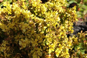 Image of Berberis thunbergii 'Aurea' 19cm Pot Size