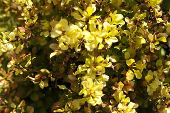Image of Berberis 'Aurea Nana' 19cm Pot Size