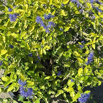 Image of Caryopteris 'Sunshine Blue' 12cm Pot Size