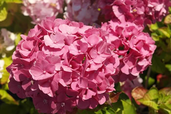 Image of Hydrangea macrophylla 'King George' 19cm Pot Size
