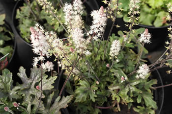 Image of Tiarella 'Pink Sky Rocket' 19cm Pot Size