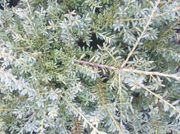 Image of Podocarpus alpinus 'Bluey' 19cm Pot Size