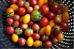 Image of Colourful Tomato Collection