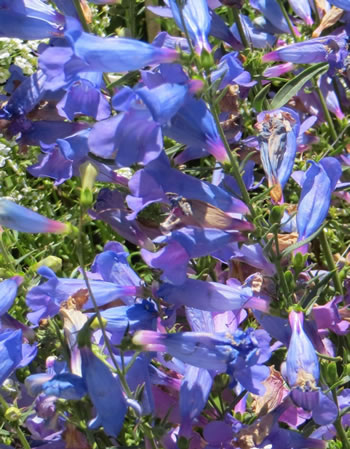 Image of Penstemon 'Bluebird' 15cm Pot Size