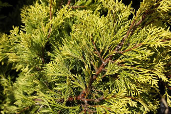 Image of Juniperus x media 'Carbery Gold' 19cm Pot Size