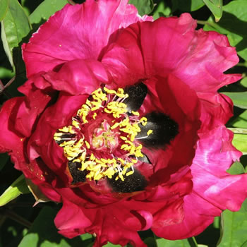 Image of Japanese Tree Peony Red 9cm Pot Size