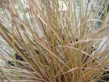 Image of Carex 'Comans' 15cm Pot Size