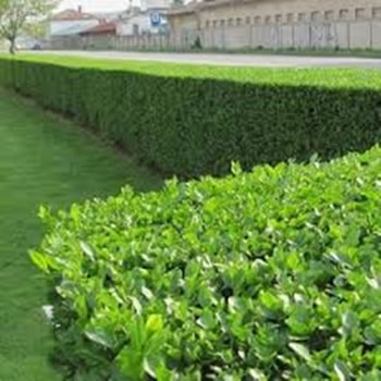 Image of 25 x Bare Root 3ft Tall Green Privet Hedge Plants