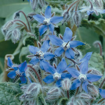 Image of Nutley's Thomas Etty Unusual Heritage Herb Seeds Borage