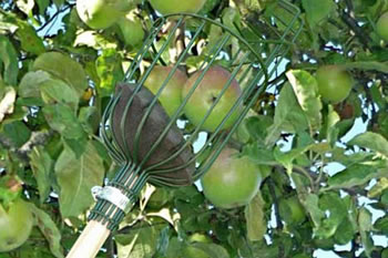 Image of Burgon & Ball Apple, Pear, Plum, Fruit Picker & Pole: No Ladder Required!