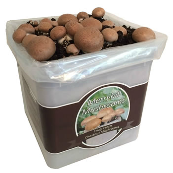 Image of Nutley's Fresh Grow Your Own Merryhill Mushroom Kit spawned & already growing