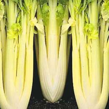 Image of Nutley's Thomas Etty Heritage Vegetable Seeds Celery Golden Self-Blanching