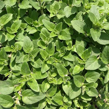 Image of Nutley's Thomas Etty Unusual Heritage Herb Seeds Sweet Marjoram