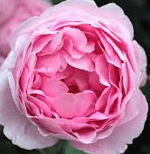 rosa shrub rose 39 constance spry 39 bare root. Black Bedroom Furniture Sets. Home Design Ideas