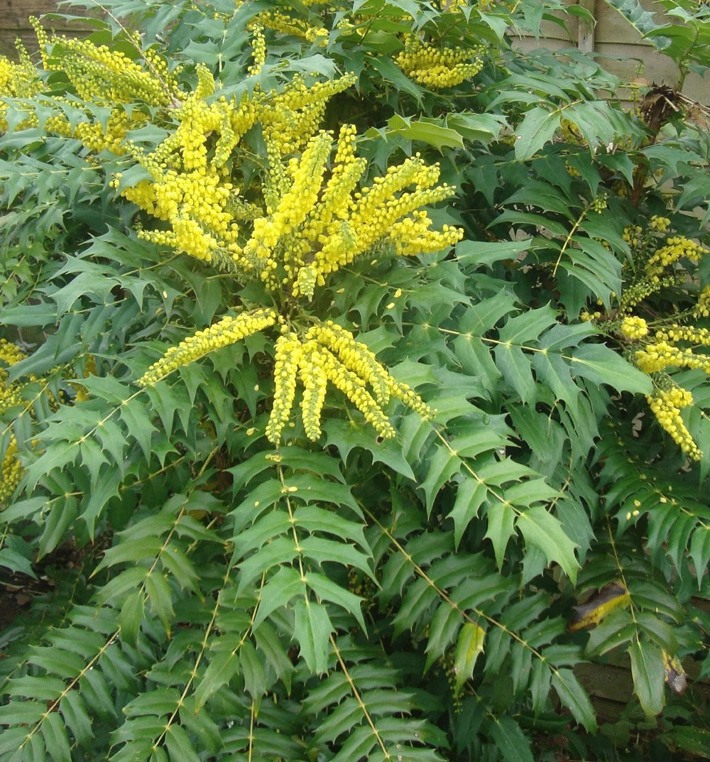 Mahonia japonica 19cm pot size garden4less uk shop for Mahonia japonica