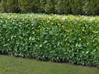 Image of 10 x 3ft Grade A Bare Root Laurel Plants With Free Guide