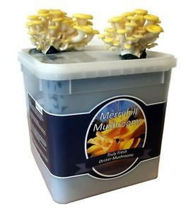 Image of Nutley's Fresh Grow Your Own Merryhill Yellow Oyster Mushroom Kit spawned & growing