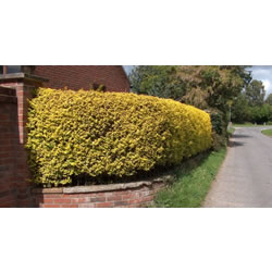 Small Image of 25 x 3ft tall Golden  Privet bare root hedge plants