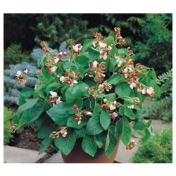 Small Image of Hestia Dwarf Runner Bean plants