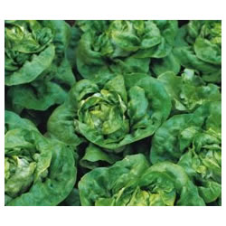 Small Image of Buttercrunch Lettuce plants