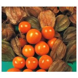 Small Image of Cape Gooseberry plants