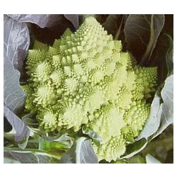 Small Image of Cauliflower Romanesco plants