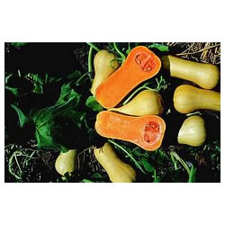 Small Image of Butternut Squash plants