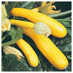 Small Image of Yellow Courgette plants