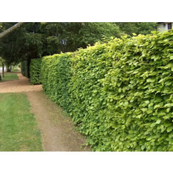 Small Image of 25 x 6ft tall green Beech Bare Root Plants For An Instant Hedge