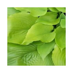 Small Image of Hosta 'Sum and Substance' Bare Root Clump