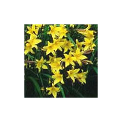 Small Image of Hemerocallis Day Lily 'Middendorffii' 19cm Pot Size