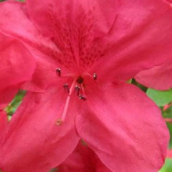 Small Image of Azalea japonica Evergreen  'Mothers Day'  13cm Pot Size