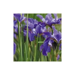 Small Image of Iris sibirica 15 Pcm Pot Size