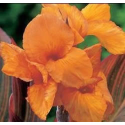 Small Image of Canna Hybrid - Mixed Colours 15cm Pot Size