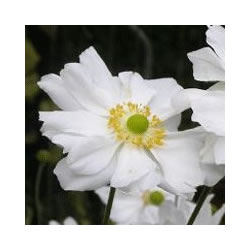 Small Image of Anemone 'Whirlwind' 15cm Pot Size
