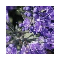 Small Image of Caryopteris 'Kew Blue' 19cm Pot Size