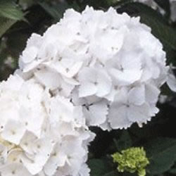Small Image of Hydrangea macrophylla 'Madame Emile Moulliere' 19cm Pot Size