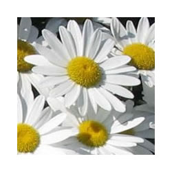 Small Image of Leucanthemum x superbum 'Alaska' 19cm Pot Size