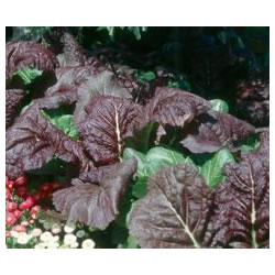 Small Image of Giant Red Mustard plants