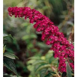 Small Image of Buddleja davidii 'Royal Red' - Butterfly Bush 15cm Pot Size