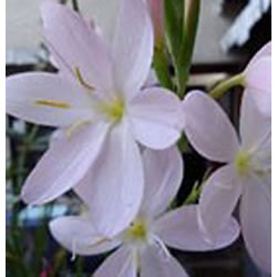 Small Image of Schizostylis 'Pink Princess' 15cm Pot Size