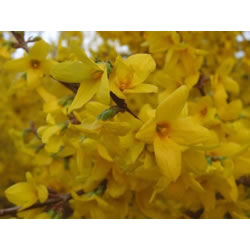 Small Image of Forsythia x intermedia 'Lynwood Gold' 12cm Pot Size